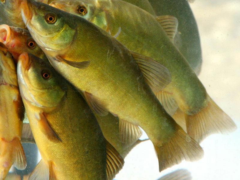 Il pesce Tinca